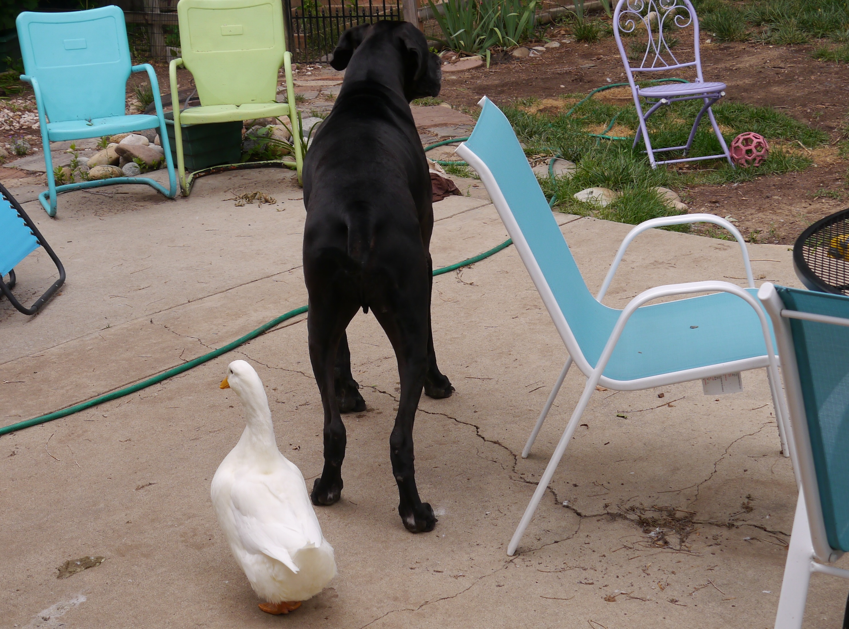 Great Dane being followed by his pekin duck